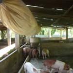 livestock1_2
